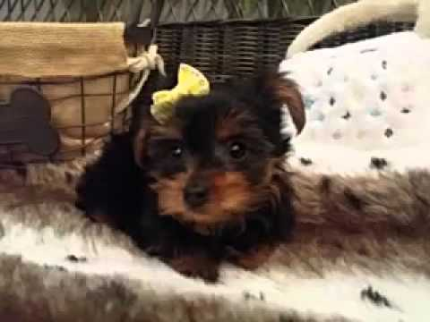 Ball of cuteness! Yorkie baby girl