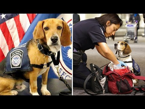 How This Abused Dog Became An Airport Customs Employee