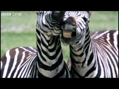 bbcone - For more information: http://www.bbc.co.uk/wildside Try your hand at giving animals a voice! Check out the BBC Comedy blog and pick your clip: http://bbc.in/...
