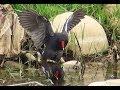 Common Moorhen failed to mate waptubes