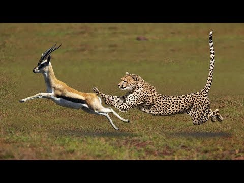 Most Amazing Big Cats Hunting Attack Compilation   Cheetah Lions Jaguar Leopard