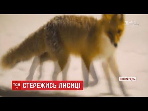 На Житомирщині скажені лисиці атакують людей