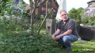 #1222 Erdbeerwiese SchweizerHerz - Erdbeeren als Bodendecker