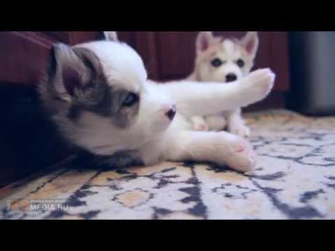 funny puppies Husky video