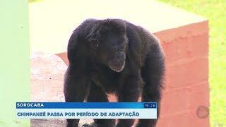 Sorocaba: chimpanzé tirado do zoológico de Sorocaba se adapta bem no novo lar