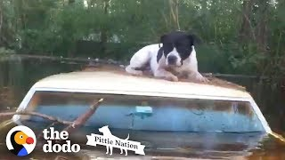 Pit Bull Saved from Hurricane Floods Moments Before it's too Late   The Dodo Pittie Nation by The Dodo