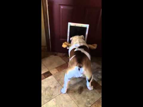 Bulldog can't fit bone through door!