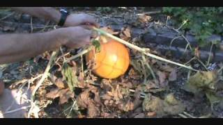 We plant this year's pumpkins (seeds, shell, pulp and all) in winter for next fall's harvest. The time lapse begins at 2:01 and...
