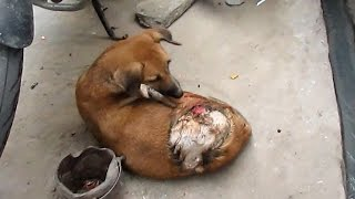 We got a call on our helpline that a street dog had been attacked by someone and burned by acid. When our ambulance arrived we found that the chemical had caused a 3rd degree burn and had dissolved the skin all the way down to the muscle. We were not able to find any information about who did this atrocious cruelty to her. With the skin burned off on almost half of her back, we truly were not sure if the wound would be able to heal, but we knew we had to try. With daily bandaging and treatment, it took 6 months for her enormous wound to heal. Today Honey lives at Animal Aid Unlimited's shelter in permanent sanctuary. She will never be hurt again. Donate to fight cruelty with love : http://www.animalaidunlimited.org/how-to-help/donate