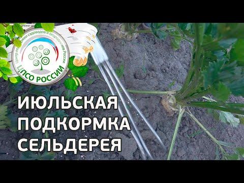 Проводим подкормку сельдерея. Выращивание сельдерея корневого.