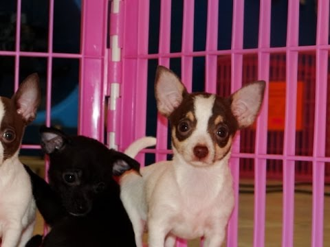 Chihuahua, Puppies, For, Sale, In El, Paso, Texas, TX, Temple, County, La, Porte, Socorro