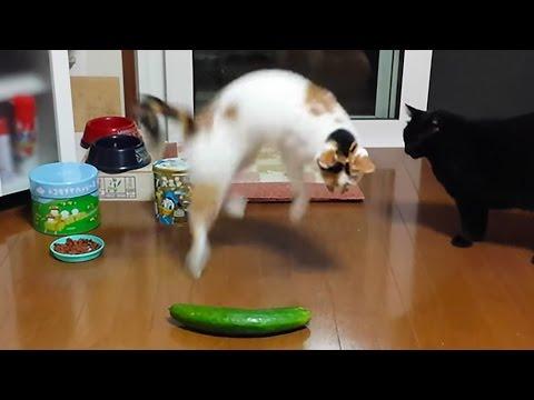 come reagiscono i gatti vedendo un cetriolo