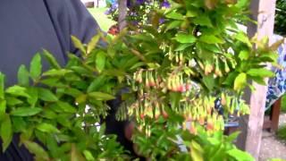 #365 Die Blüten der Heidelbeere Blautropf