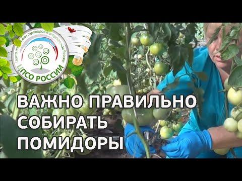 Основные работы в период сбора урожая томата. Как нормировать плоды в цветочной кисти томата.