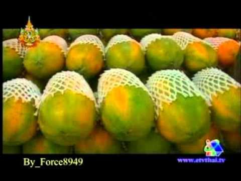 อาชีพเลือกได้ การปลูกมะละกอ Force8949 2 of 2