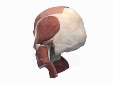 Kopfmuskulatur Allgemein