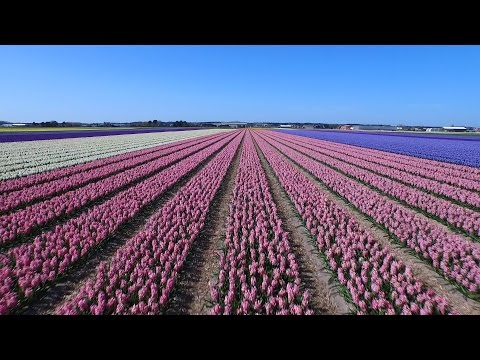 Un Drone Vola Sui Campi Di Tulipani Olandesi. Lo Spettacolo E' Mozzafiato