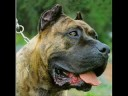 presas - Visit http://www.TrainPetDog.com/h/videol_1_tlid_1_placidotra/Presa-Canario/index1.php and GRAB A FREE COURSE ON TRAINING YOUR PRESA CANARIO! Learn all about...