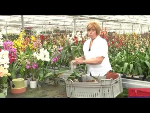 Comment prendre soin de vos orchid es martine 39 s orchids garden - Prendre soin des orchidees ...