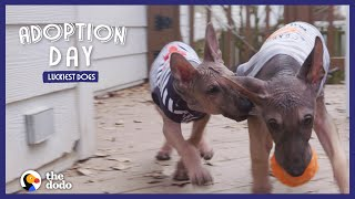 Hairless German Shepherd Puppies Are So Big Now — Watch Them Get Adopted! | The Dodo Adoption Day by The Dodo