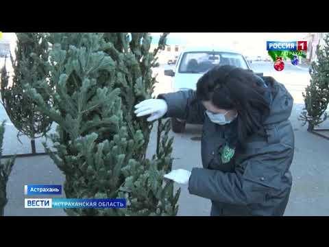 Управлением Россельхознадзора проведены проверки елочных базаров на территории города Астрахани