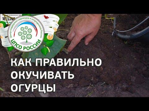 Окучивание растений огурца. Выращивание огурцов в теплице.