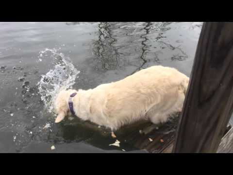 (VIDEO) SMART DOG CATCHES FISH BY USING BREAD AS BAIT