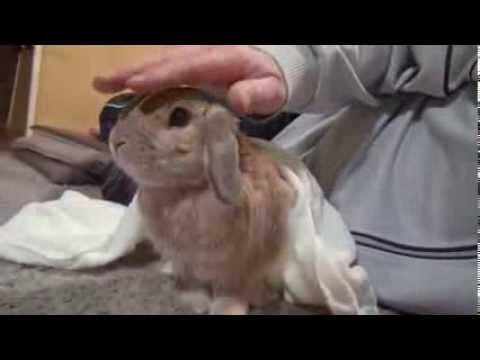 Un conejo que se enfada si le dejan de acariciar
