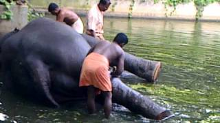 Guruvayoor India  city photo : elephants bath in guruvayoor india