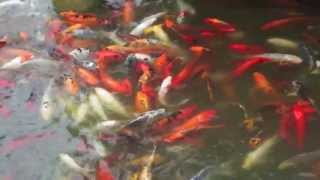Lehi (UT) United States  city photo : Thanksgiving Garden, Fish Gathering,Lehi, Utah, USA, سمك في حديقة رائعة في ولاية يوتا