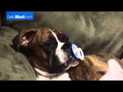 jaky il cane che si addormenta col ciuccio