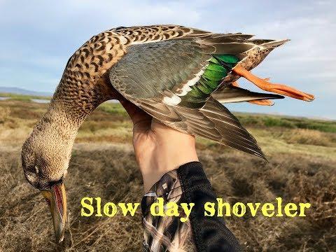 Cali duck hunt - Shoveler down