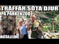 Tr Ffar S Ta Djur P  Parken Zoo Matar Lejon