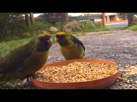 A couple of Green Rosella feeding