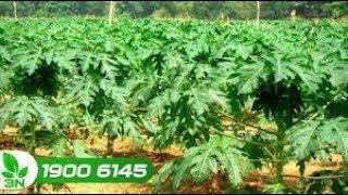 Trồng trọt | Kinh nghiệm chăm sóc cây đu đủ sau khi trồng