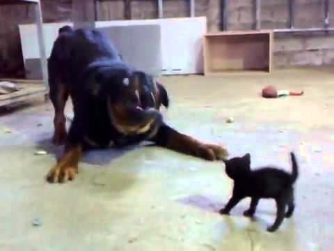 Brave Little Kitten Stands Up to fight a Dog