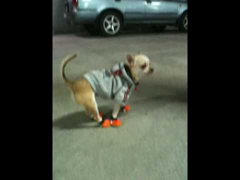 Very Funny Chihuahua – first pair of shoes :)