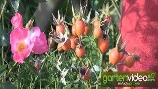 #1409 Herbstblüte und Hagebutten der Roseasy Athos