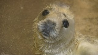 Seal pups orphaned in storm surge overrun rescue centre in Norfolk