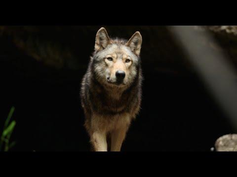 lupo esce dalla sua tana e vi accompagna in un viaggio indimenticabile!