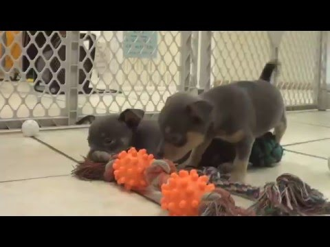 Chihuahua, Puppies , For, Sale, in Staten Island, New York, NY, Brooklyn, County, Borough