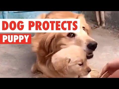 il-golden-retriever-che-protegge-il-suo-cucciolo