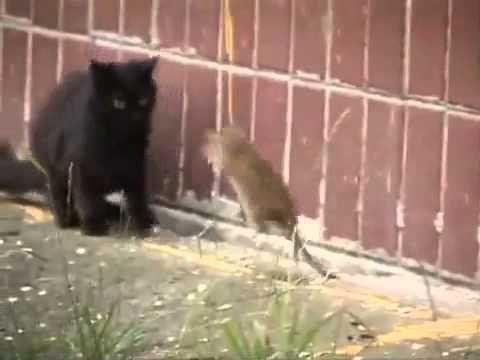 Giant Russian Rat Attacks Cats [HQ] (VIDEO)