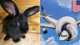 런던 — 거대 토끼가 유나이티드 항공 비행기를 탔다 사망했습니다.거대토끼가 영국에서 미국으로 가는 유나이티드 항공사 비행기에 탔다 사망한 일이 발생했다고 하는데요, 유나이티드 항공사 측은 그들의 이미지 타격을 또 받았습니다.시몬이라는 이름의 3피트, 약 90센티미터 크기의 10개월짜리 대륙 자이언트 토끼( Continental Giant Rabbit )는 세계에서 가장 큰 토끼로 자랄 것이라는 기대를 받고 있었다고 하는데요, 그러나 주인인 안네트 에드워즈 씨는 지금 유나이티드 항공사로부터 보상금과 토끼의 시신을 영국으로 보내 검시를 받게 해줄 것을 요구하고 있습니다. 유나이티드 항공사는 시몬은 살아있었다고 주장했으며, 지난 4월 19일 시카고에서 이륙했을 때, 토끼가 잘 있는지 물어볼 필요도 없었다고 합니다. 항공사 대변인은 이 거대토끼는 건강해 보였으며, 착륙으로 인해 스트레스를 받은 징후는 보이지 않았다고 전했습니다.시몬은 항공사 측에서 운영하던 동물 보관 구역에서 잠에 들었으나, 30분 이후, 직원이 토끼집을 열어보았더니, 죽은 채로 발견되었다는 겁니다.대변인은 유나이티드 항공사가 무료로 토끼 시신의 부검을 제안했으나, 에드워즈 씨는 거절했습니다.토끼 주인인 에드워즈 씨는 시몬의 아빠인 다리우스가 4피트 4인치, 약 132센티미터로 자랐기 때문에, 시몬이 세계에서 가장 큰 토끼로 자랄 것이라고 기대하고 있었다고 전했습니다.에드워즈 씨는 시몬이 영국, 런던의 히드로 공항에서 이륙하기 3시간 전 수의사의 검진을 받았으며, 아주 팔팔하다는 진단을 받았다고 전했습니다.유나이티드 항공사 측은 미국에 있는 시몬을 구매한 사람에게 보상금을 제안했습니다.항공사 측은 이 거대토끼의 죽음을 슬프게 생각하며, 이번 사건을 조사 중이라는 말을 전했습니다.-----------------------------------------토모뉴스는 리얼 뉴스 최고의 소식통입니다. 저희들은 인터넷에서 가장 재미있고 이색적이며, 가장 많이 화제가 되고 있는 이야기들을 다룹니다. 저희가 말하는 톤은 과감하며, 필터가 없습니다. 여러분들이 웃으면, 저희도 웃습니다. 여러분들이 분노하면, 저희도 분노합니다. 있는 그대로 이야기를 전해드립니다. 토모뉴스는 이야기들을 애니메이션화할 수 있기 때문에, 본 적, 들은 적도 없는 뉴스를 여러분들께 전달해드립니다.