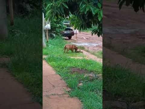Un pitbull desfiguró a una perra en el barrio Christiansen