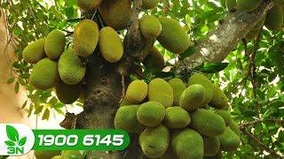 Trồng trọt | Cách cắt tỉa cành cho cây mít giai đoạn mang quả
