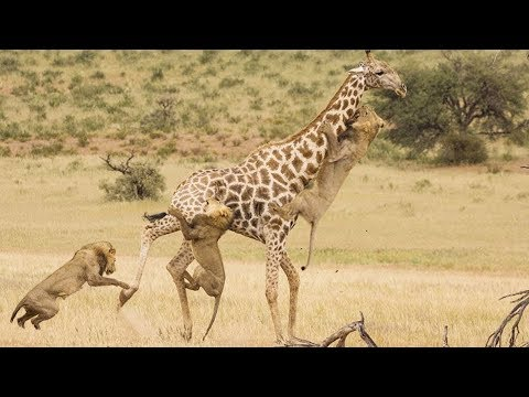 Most Amazing Wild Animal Attacks - Lion Attack Giraffe