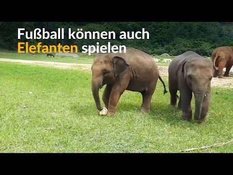 Thailand: Wenn Elefanten kicken - Fußball spielen a ...