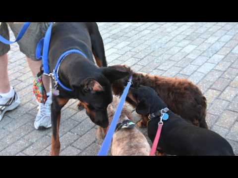 info - Subscribe Now: http://www.youtube.com/subscription_center?add_user=ehow Watch More: http://www.youtube.com/ehow Doberman Pinschers are unique for a variety o...