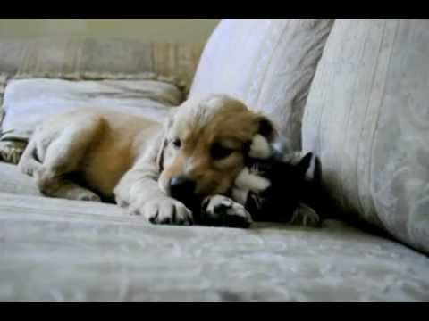 Golden Retriever Puppy with Kitten